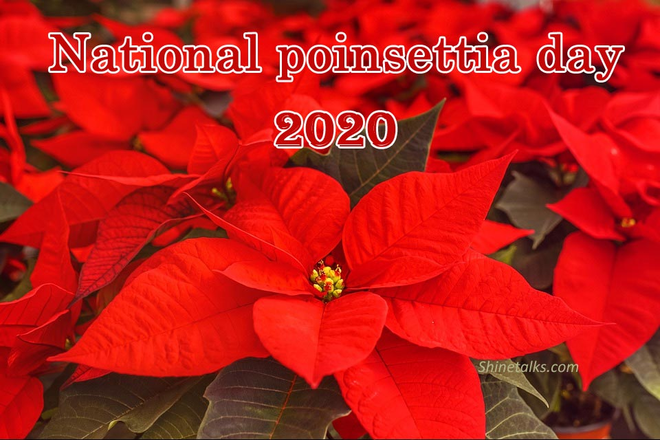 Poinsettia day picture 2020